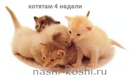 Что должен уметь котенок в 1 месяц. развитие котят по неделям и месяцам. возраст котенка и его характеристики. определение плана кормления