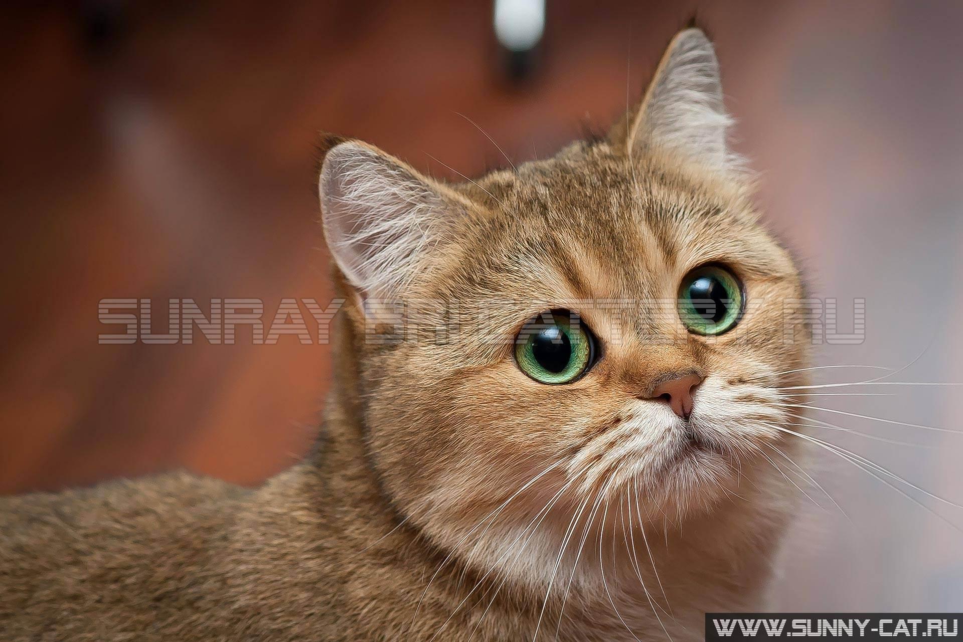 Когда у британских котят меняются зубы на постоянные