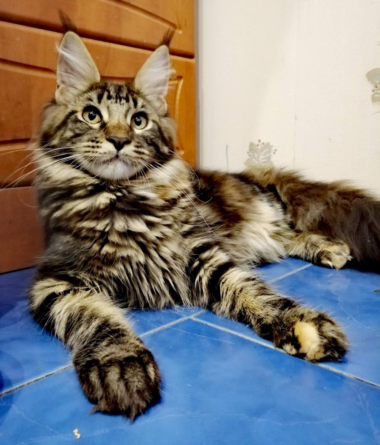 Котенок мейн-кун в 4 месяца