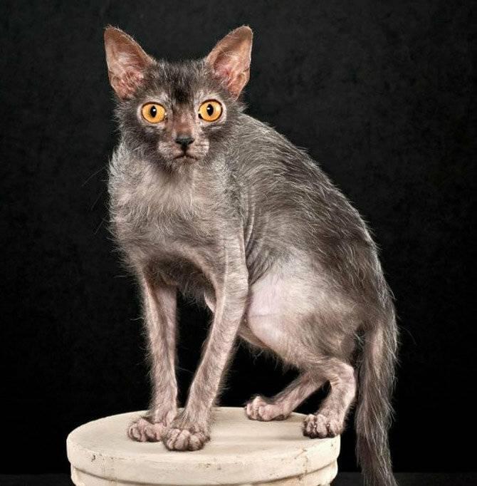 Выведена порода кошек-оборотней :: инфониак
