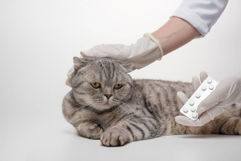 У кота опухла лапа и он хромает: что делать