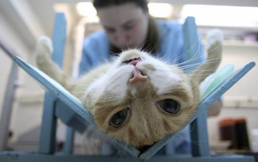 Кастрация тайских и сиамских котов, возраст, как проходит, плюсы