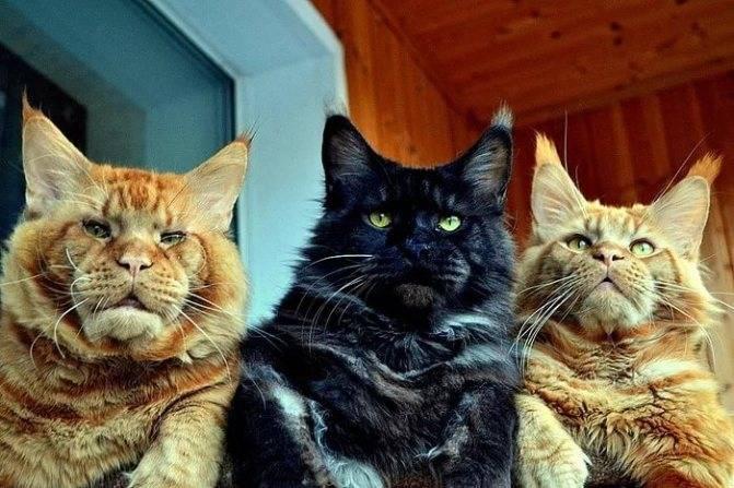 До какого возраста растут коты и кошки | обычные, домашние и другие породы