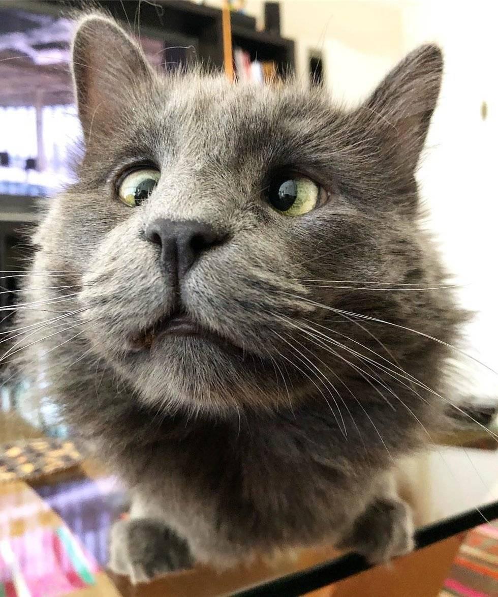 Косоглазие у кошек: причины возникновения и лечение