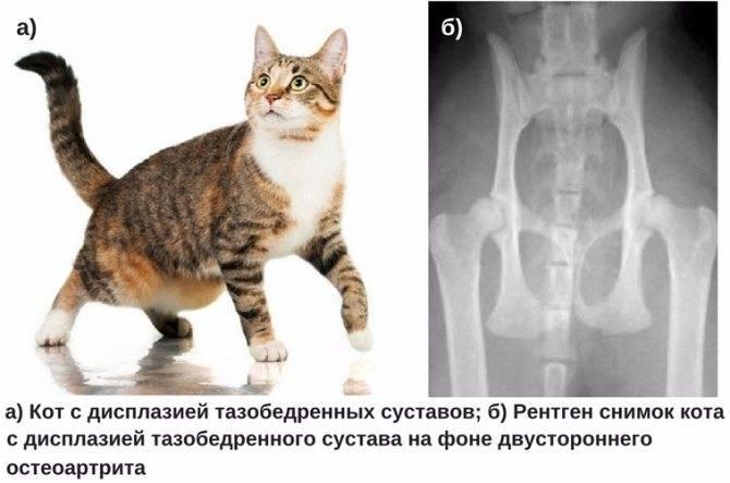 Симптомы ушиба лапы у кота