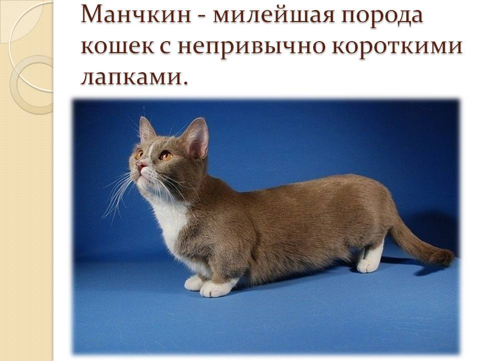 Породы кошек с короткими лапами с названиями и фото
