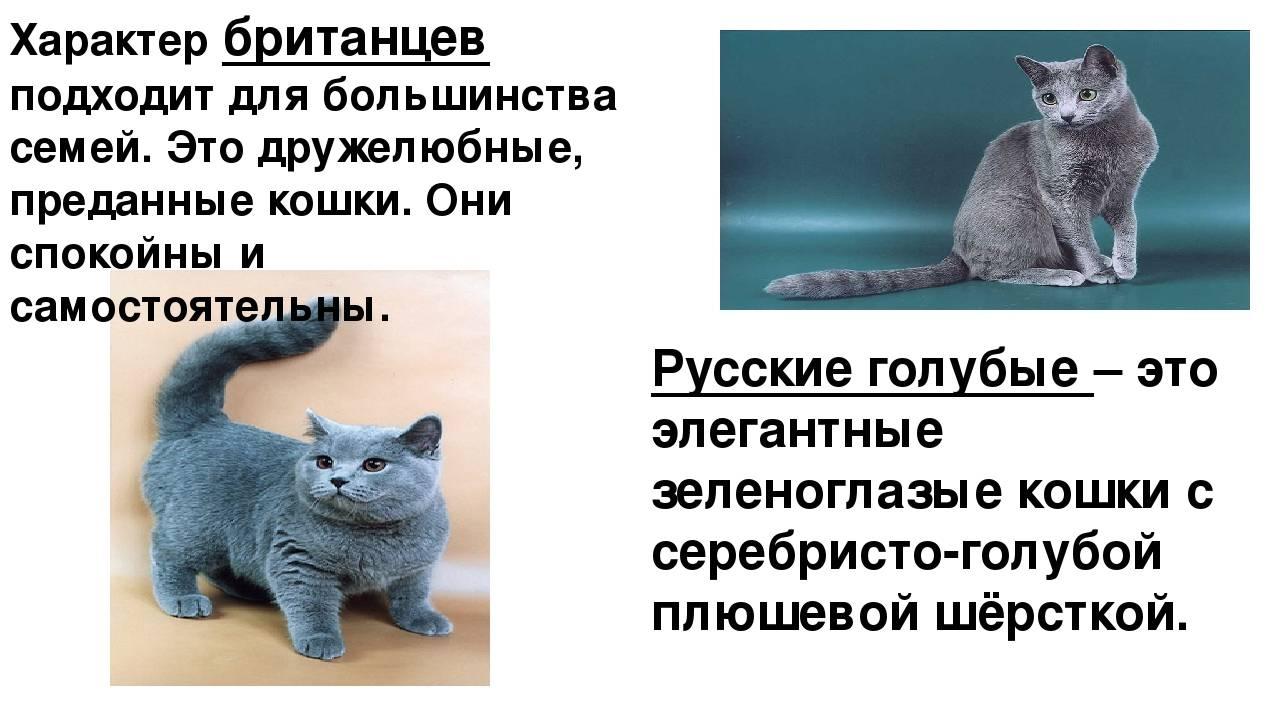 Британские кошки (57 фото): описание характера котов и котят. как они выглядят? особенности разновидностей породы. отзывы владельцев
