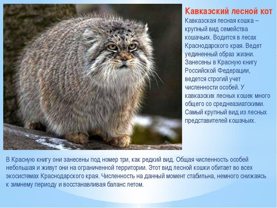 Среднеевропейская кошка: история, описание и образ жизни