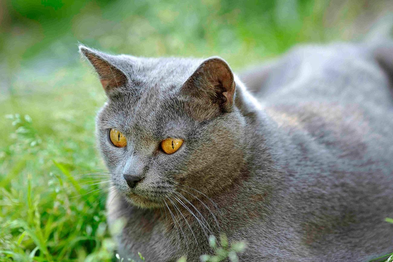 Серые британские коты (20 фото): описание прямоухих кошек. как содержать британского котенка светло-серого и темно-серого окраса?