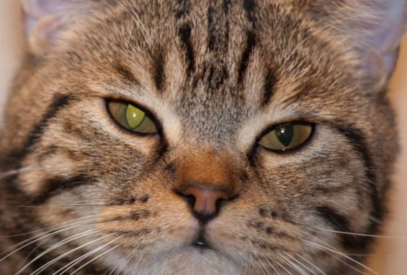 Собака или кошка щурит глаз: причины, диагностика