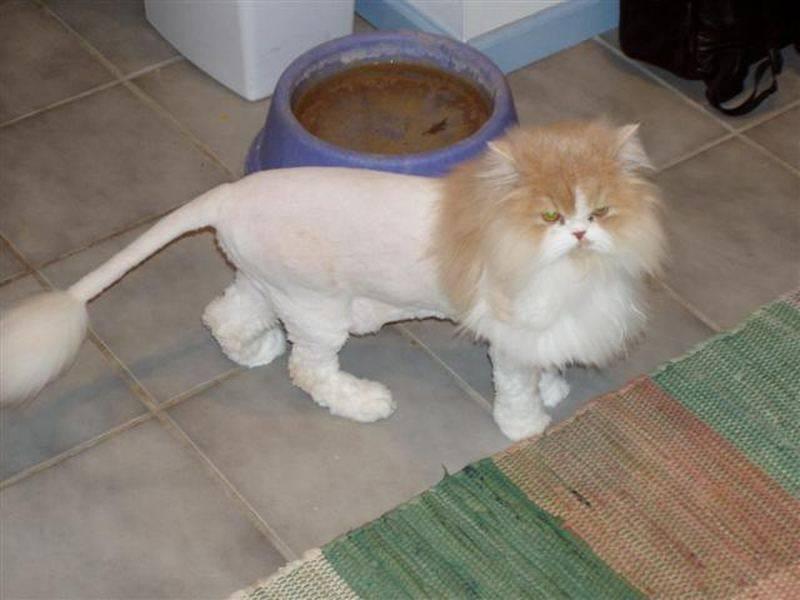 Стрижки кошек: какие бывают и как постричь?