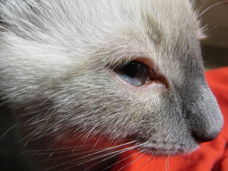 Коричневые выделения из глаз кошек лечение