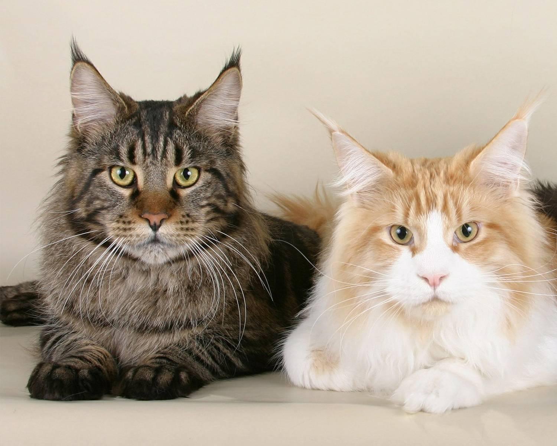 Особенности породы кошек мейн-кун, уход и содержание с фото: отзывы владельцев