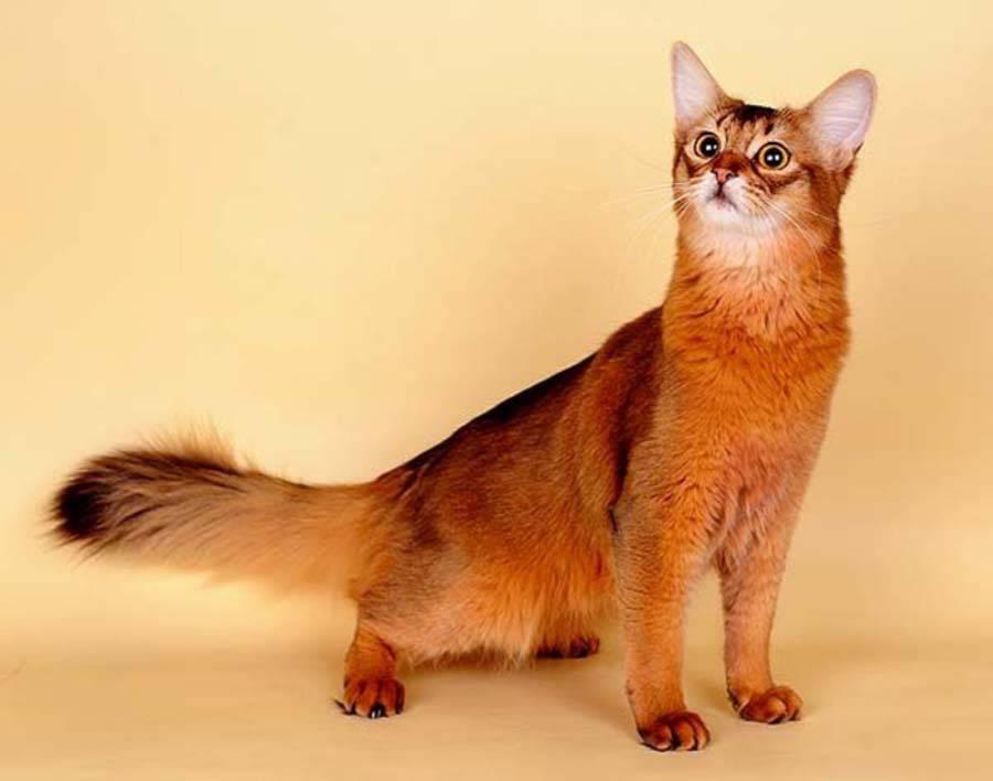 Сомалийская кошка. описание, особенности, уход и цена сомалийской кошки   животный мир