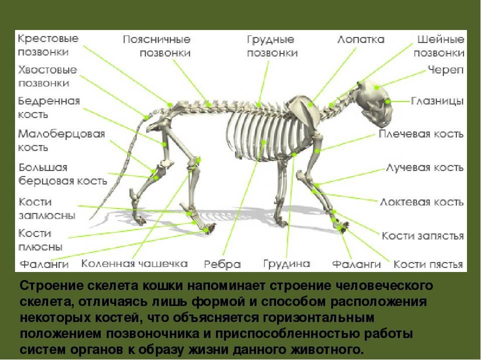 Сколько зубов у кошки: фото, схема и строение кошачьих зубных единиц