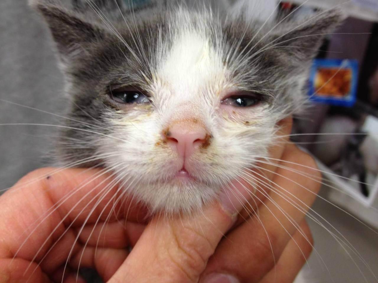 Кот чихает: причины и что делать, если при чихании слезятся глаза, чем лечить котёнка и кошку в домашних условиях