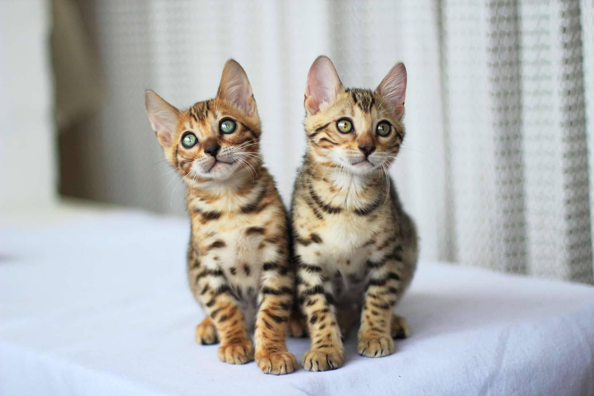 Бенгальская кошка: домашний питомец с экзотичной внешностью