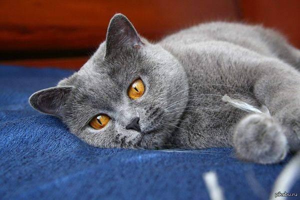 Сколько живут коты британцы вислоухие. сколько живут кошки британской породы в дома. сколько живут британские кошки в домашних условиях