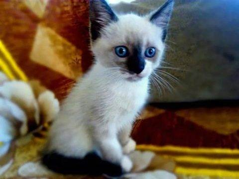 Как назвать тайскую кошку – мальчика или девочку