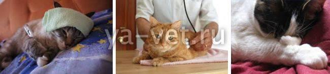 Сколько лечится пневмония у кошек. воспаление легких у кошек – симптомы и лечение