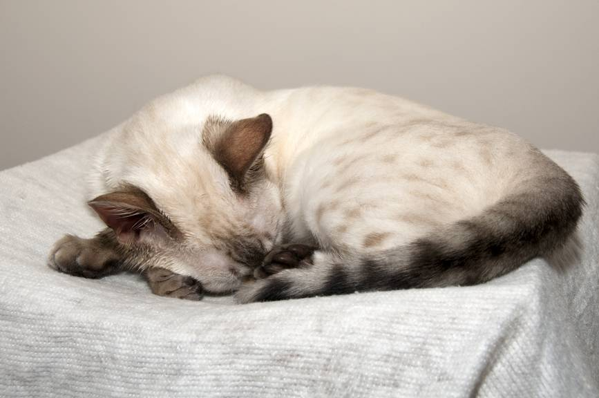 Что делать когда у кошки болит возле хвоста? хвост шотландской кошки — барометр здоровья.
