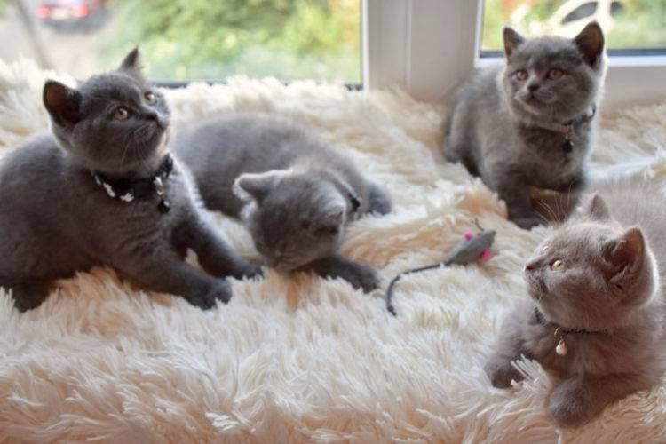 Британские котята: особенности содержания, забота о здоровье и кормление