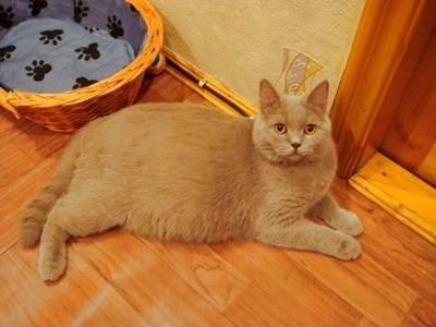 Сколько котят может рождаться у шотландской кошки