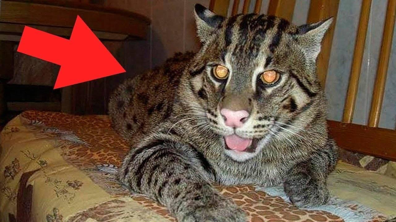 Самые опасные кошки в мире: топ-10 пород диких и домашних котов, представляющих угрозу для людей