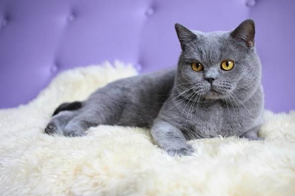 Сколько лет живут британские кошки? как продлить продолжительность жизни котов-британцев в домашних условиях?