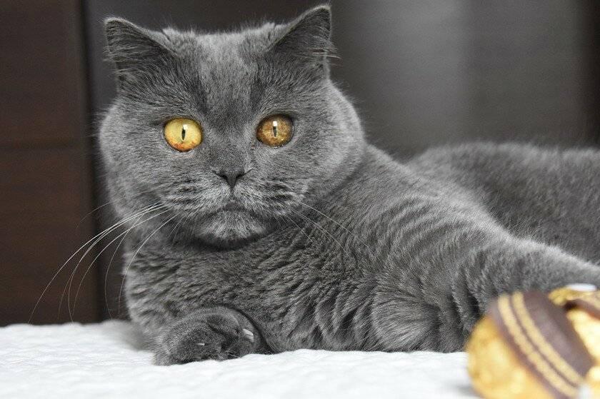 Описание кошки британской породы