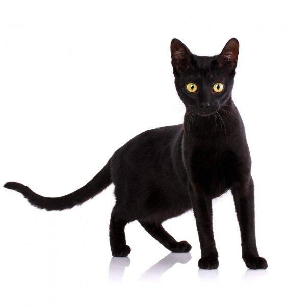Кошка Серенгети: фото, цена в России, характер и особенности породы