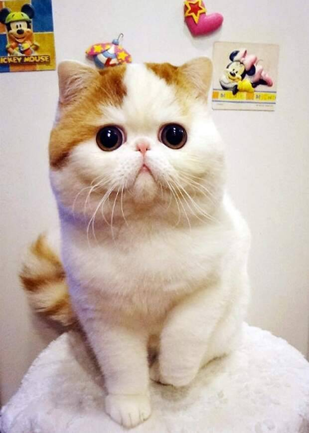 Кот с приплюснутой мордой название породы — освещаем в общих чертах