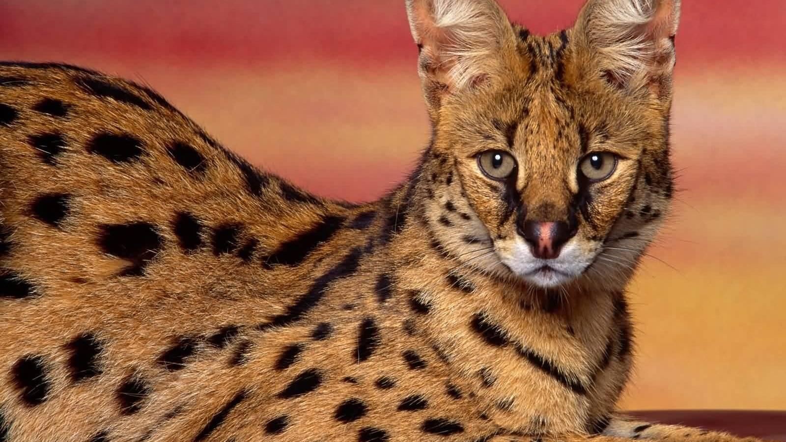 Сервал – домашний дикий кот