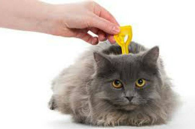 Блохи у кошки - как определить и избавиться