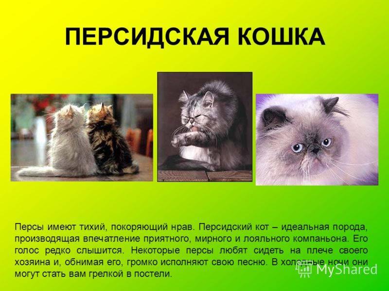 Персидская кошка: описание породы и характера, фото