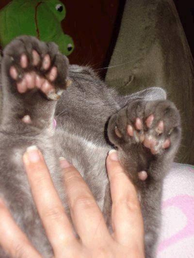 Сколько пальцев должно быть у кошек