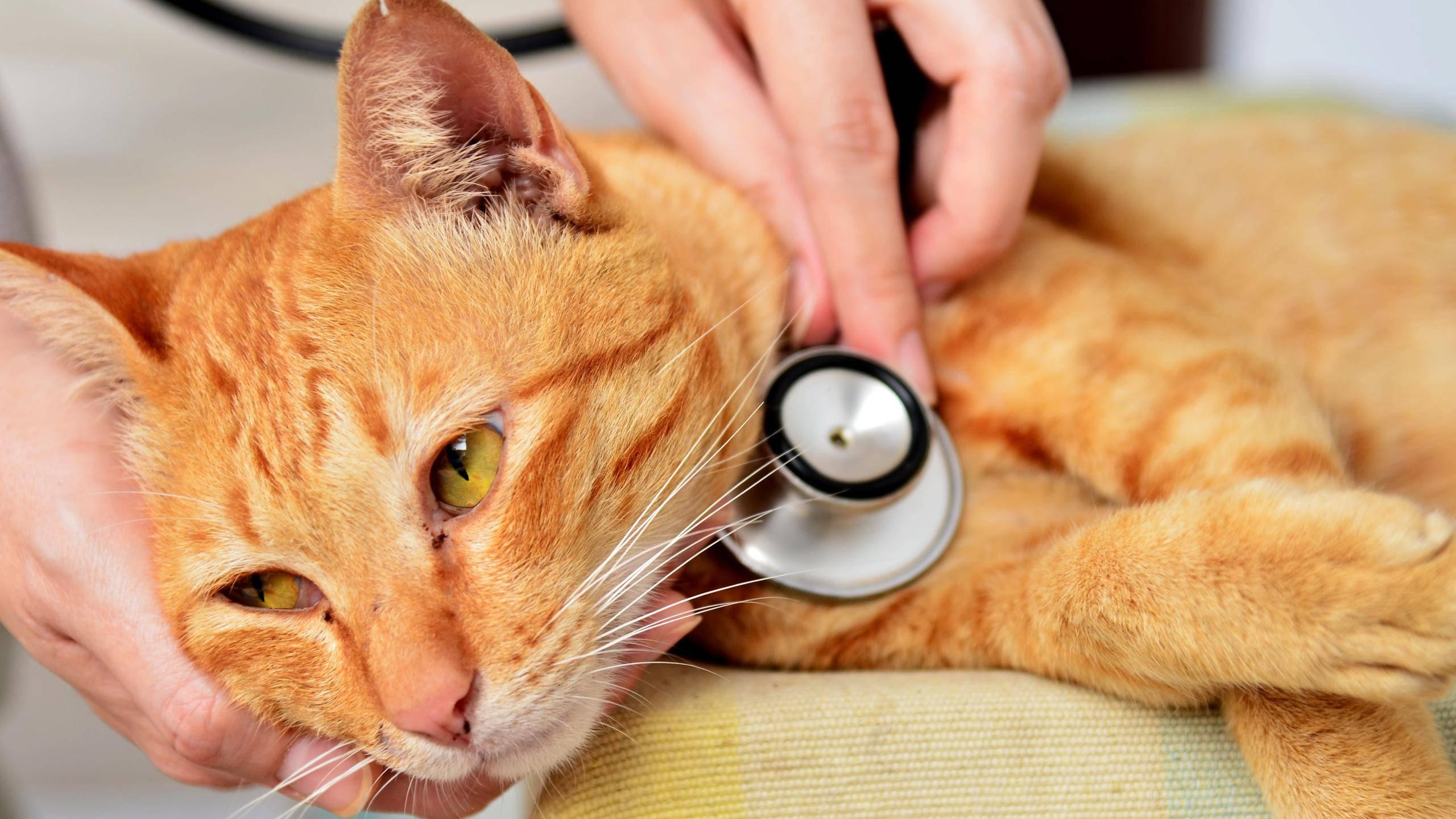 Болезни кошек, что делать, если кот болеет