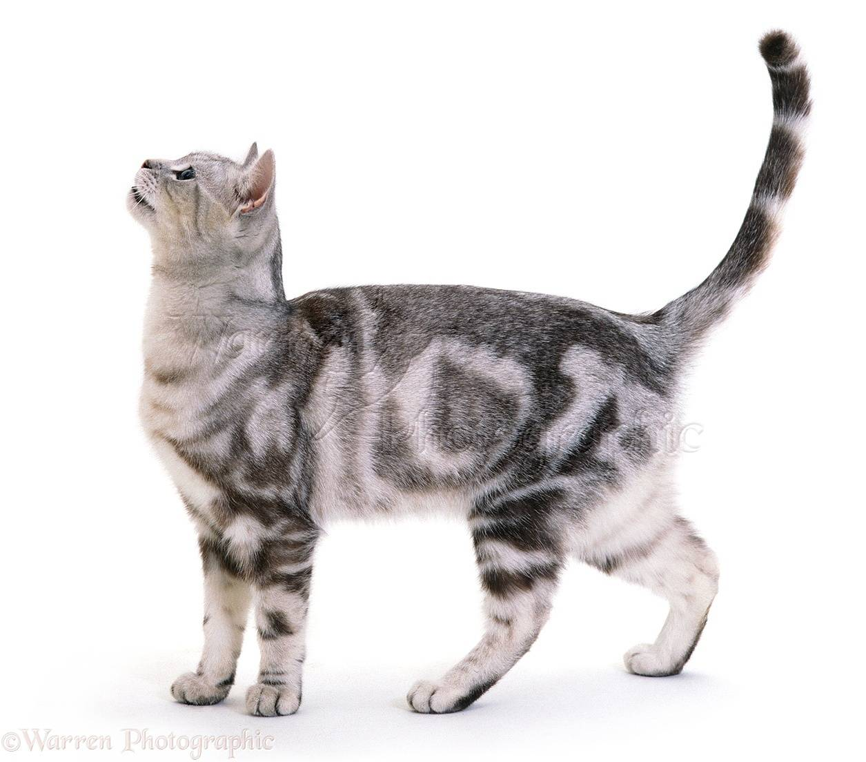 Какую кошку лучше завести в квартире