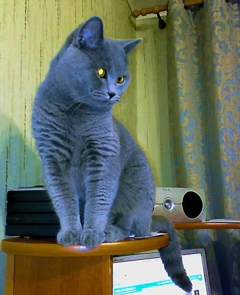 Какую кошку лучше завести в квартире, и стоит ли это делать? | рутвет - найдёт ответ!