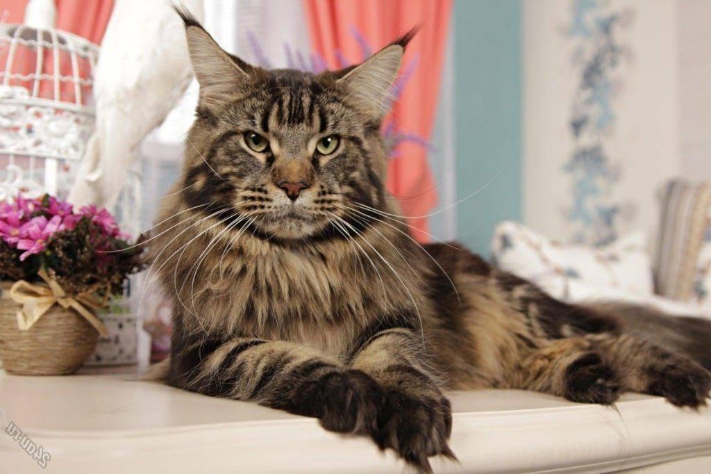 Кошки мейн-кун: описание породы