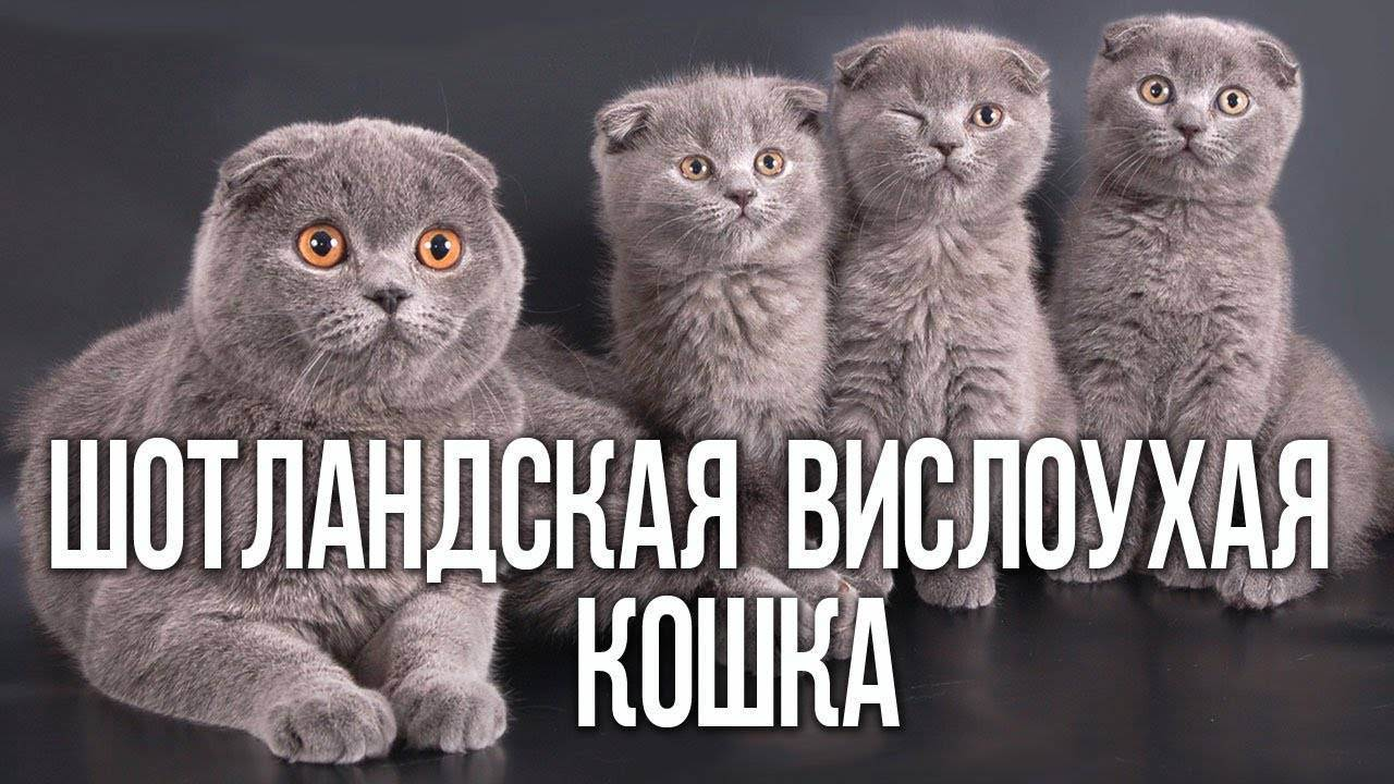 Когда падают ушки у вислоухих котят. почему у вислоухой кошки поднялись ушки? окрасы шотландских кошек