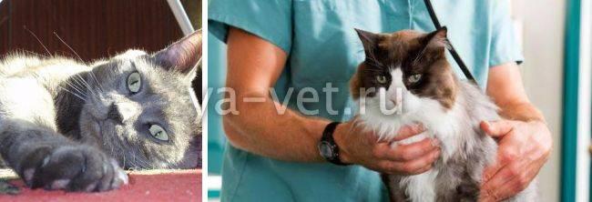 Судороги у кошки причины и лечение