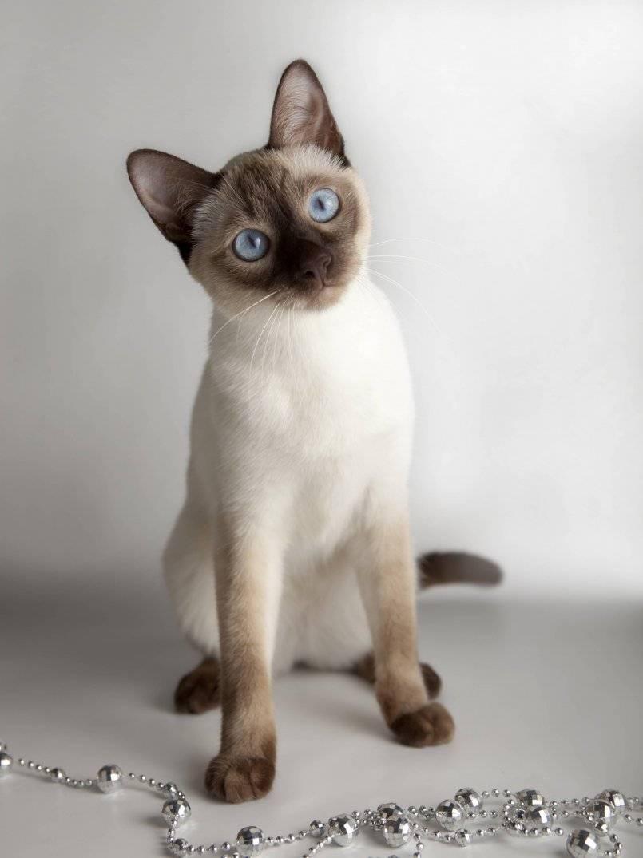 Cиамская кошка. история, факты, характер, фото
