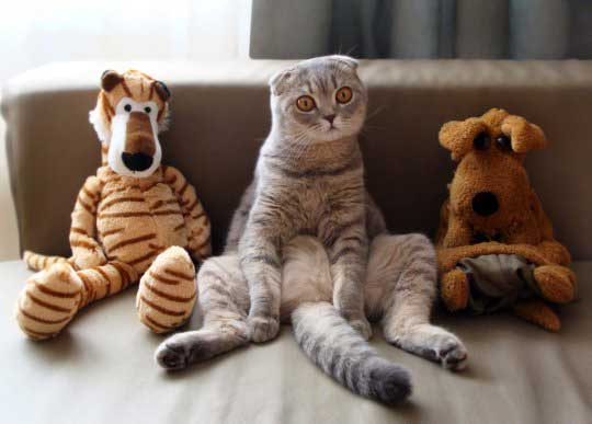 Помесь британца и шотландца характер. британская кошкаи шотландский кот