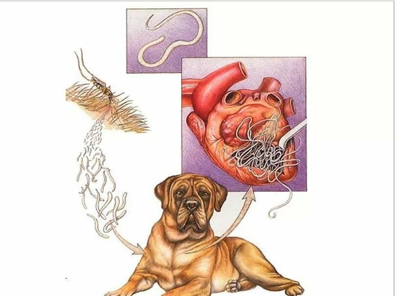 Заболевание дирофиляриозом у собак : симптомы, профилактика и лечение.