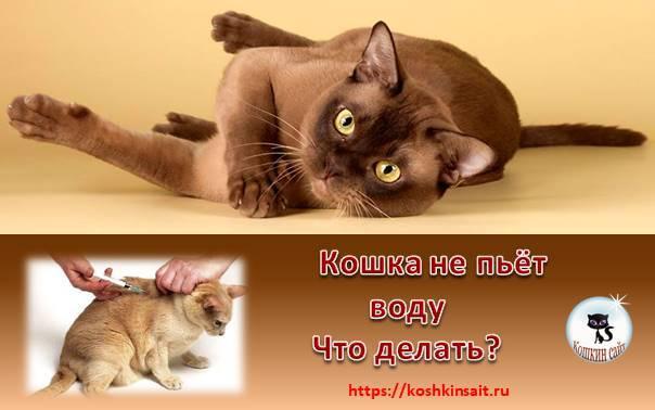 Котенок не пьет воду: что делать, как приучить, причины