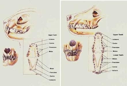 Сколько зубов у кошки — в 5,6 месяцев, в год, взрослой