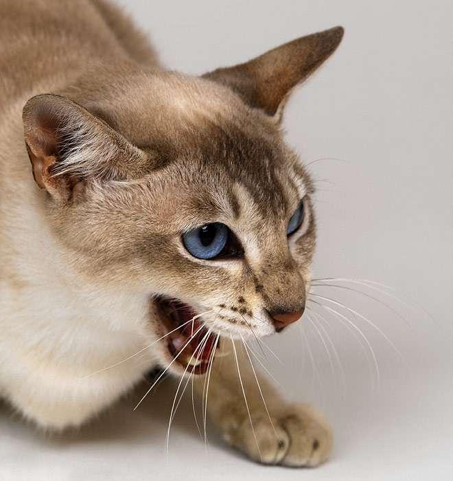 Как успокоить кошку?