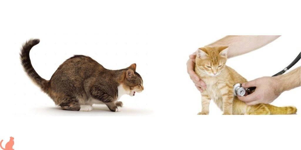 Гастрит у кошки: симптомы и лечение
