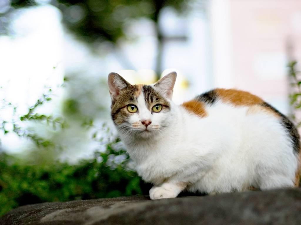 Бывают ли трехцветные коты мужского пола? - love cats